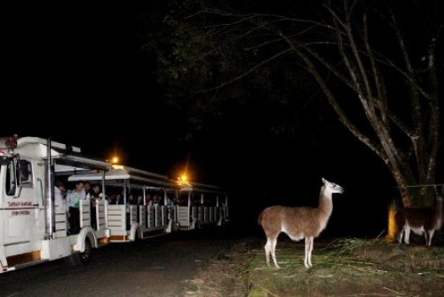 Pengunjung TSI Cisarua Bogor bisa menggunakan kereta wisata untuk menyaksikan satwa yang dilepas kandang. (Megapolitan.Antaranews.Com/Foto: Humas TSI Cisarua).